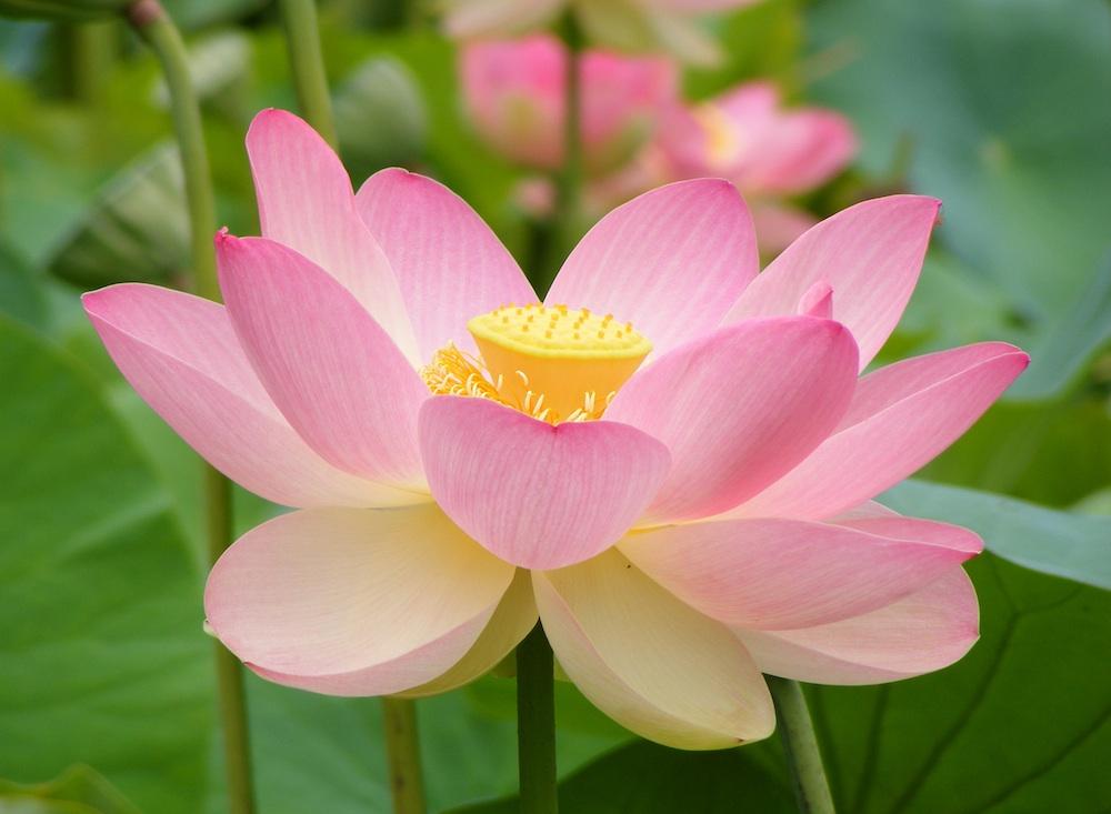 Lotus Nelumbo