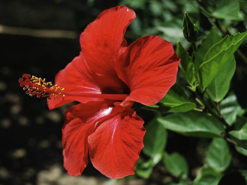 Fun Flower Facts: Hibiscus