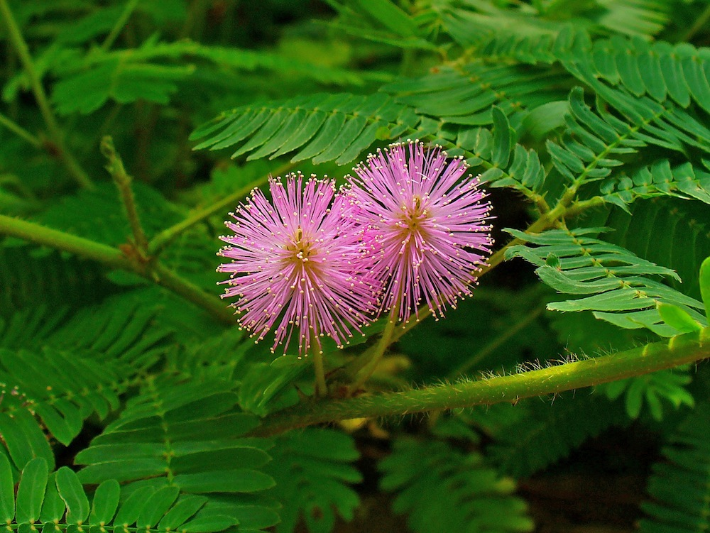 Touch-me-not Plant: Mimosa Pudica