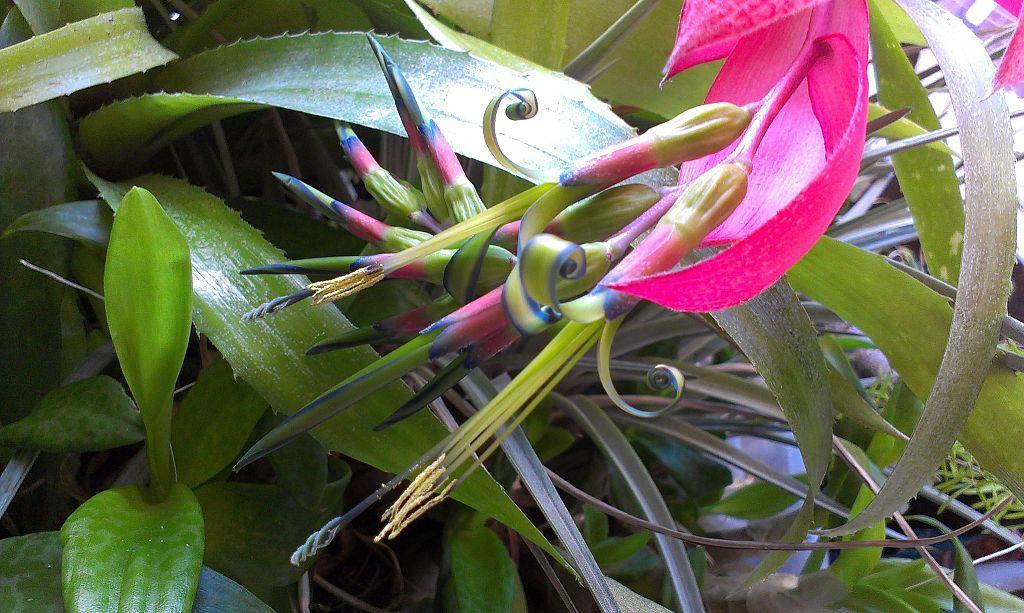 Queen's-Tears Or Friendship Plant, Billbergia Nutans