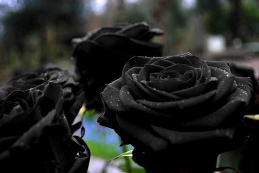Black Roses of Halfeti
