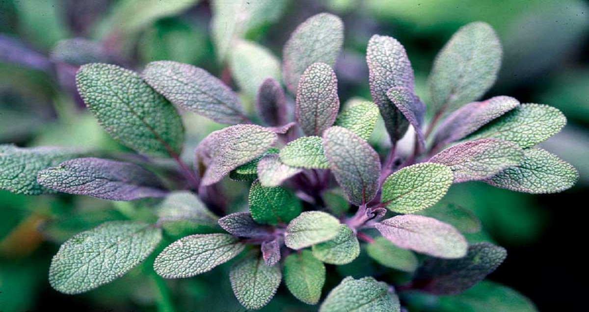 Sage or Salvia - The Saving Herb
