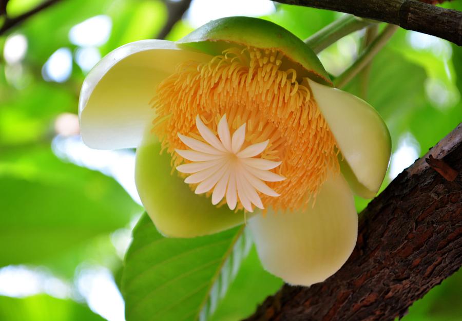 Elephant Apple flower