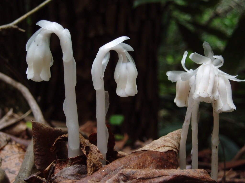 Indian Pipe Or Ghost Plant Is Not A Fungus