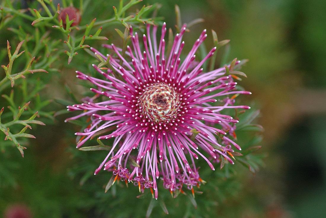 Rose Cone Flower Or Isopogon formosus