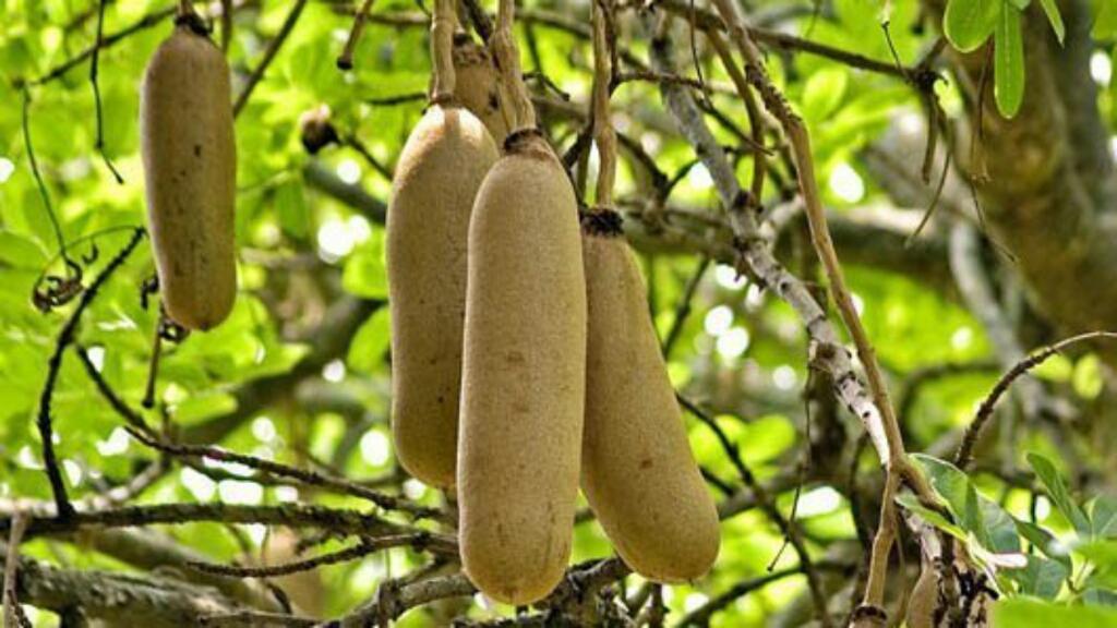 Sausage Tree Or Kigelia Africana