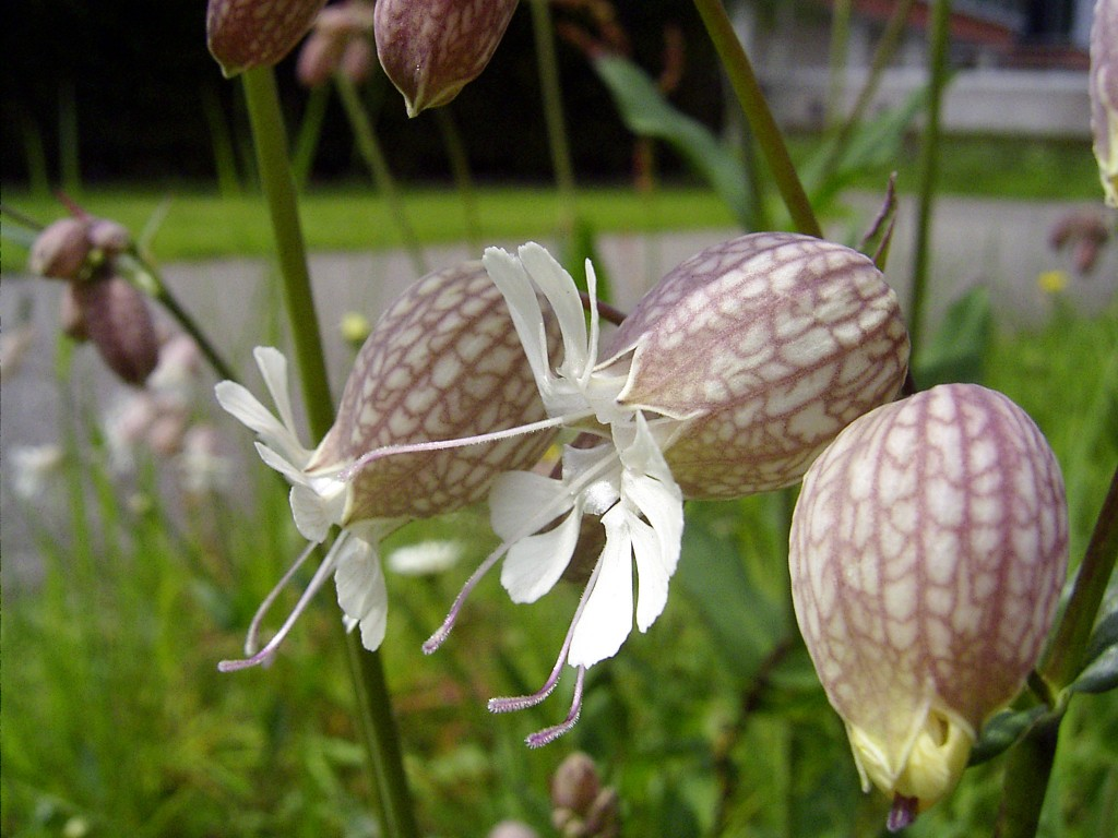 Silene vulgaris Or The Bladder Campion