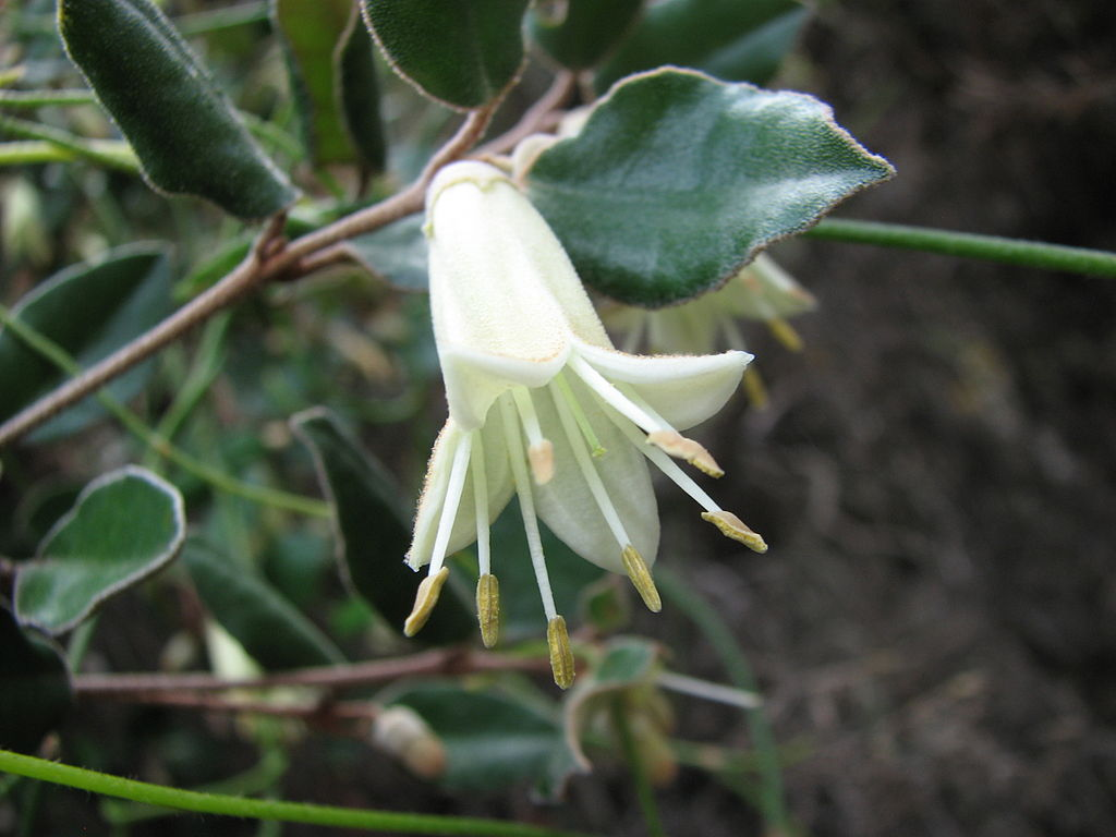 Correa Backhouseana Or Australian Fuchsia