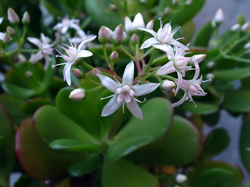 Crassula Ovata Or Money Plant