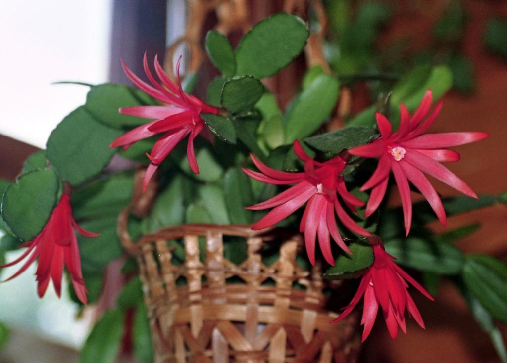 Hatiora Gaertneri Or Easter Cactus