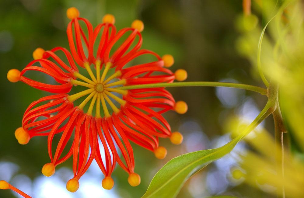 Stenocarpus Sinuatus Or Firewheel Tree