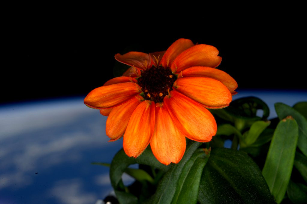 First-Ever Flower Grown In Outer Space