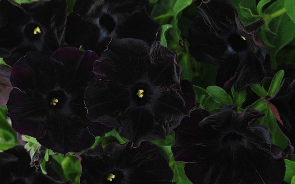 Black Petunia: Add Some Intrigue And Elegance To Your Garden