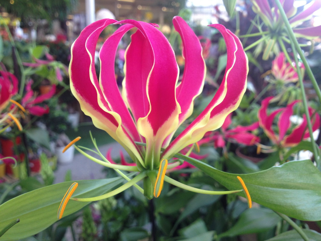 Gloriosa Superba Or Flame Lily Growing Tips & Facts
