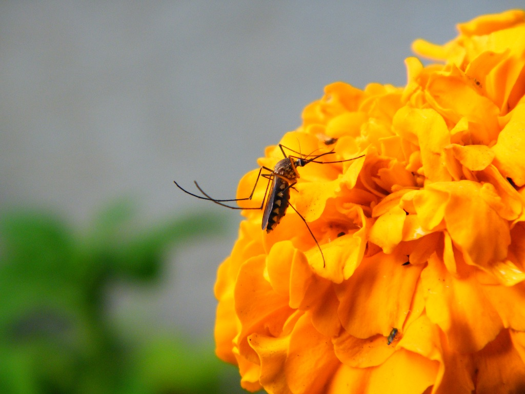 Natural Mosquito Repellents - Plants, Which Keep Insects Away