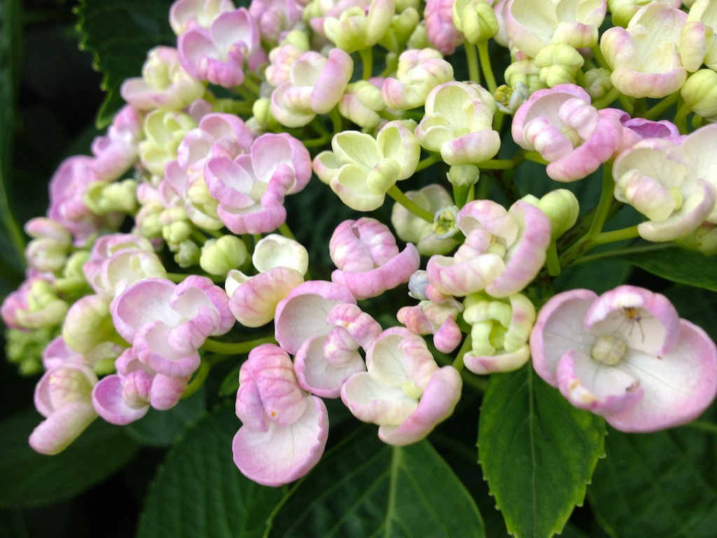 Want To Know The Name Of This Bushy Plant With Wide Leaves And White Pale Pink Flowers